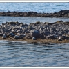 Seals on the Icelandic shore