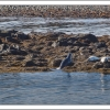 Common seals in Iceland