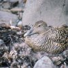 Eider Duck in its nest
